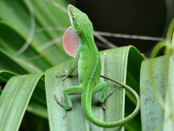 picture of a green anole