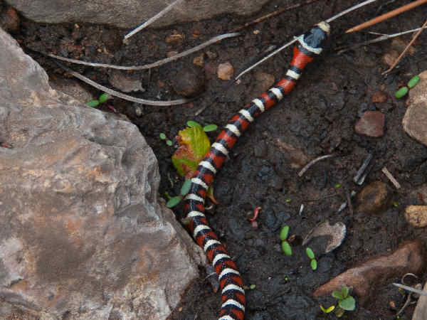 picture of a Sonoran Mountain Kngsnake (Lampropeltis pyromelana)