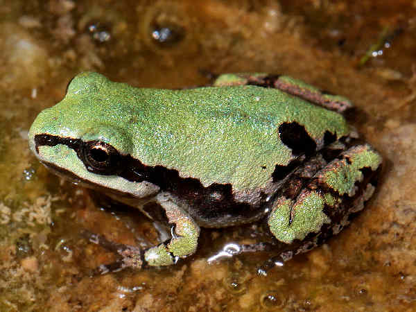picture of an Arizona treefrog, part of the treefrog identification series.