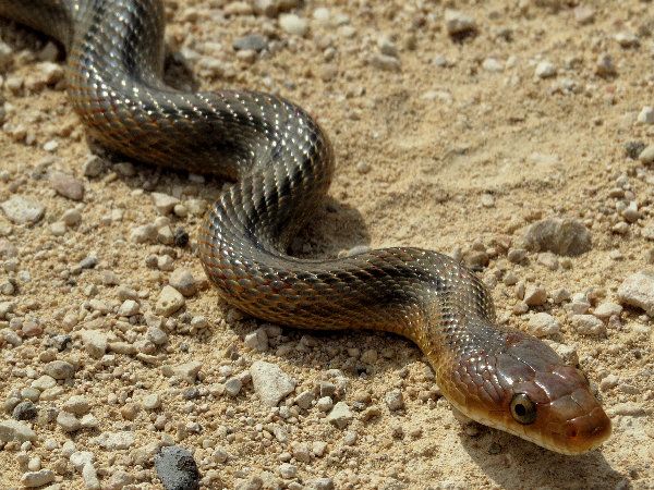 picture of a Baird's Ratsnake (Pantherophis bairdi), credit, Fernando Mateos Gonzalez