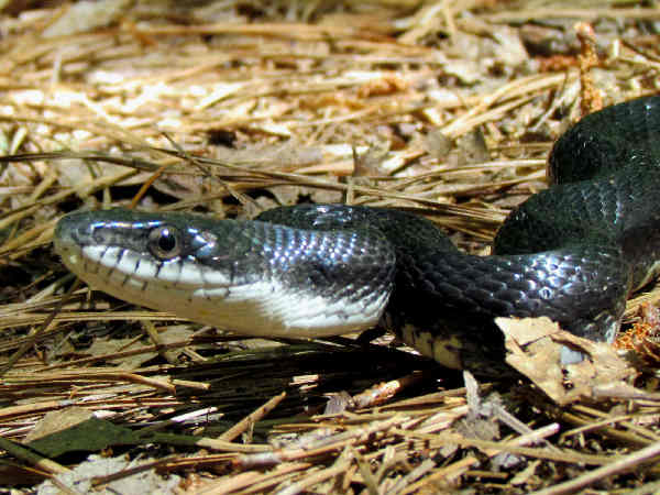 picture of a Black Racer snake, credit Bobistraveling Flickr