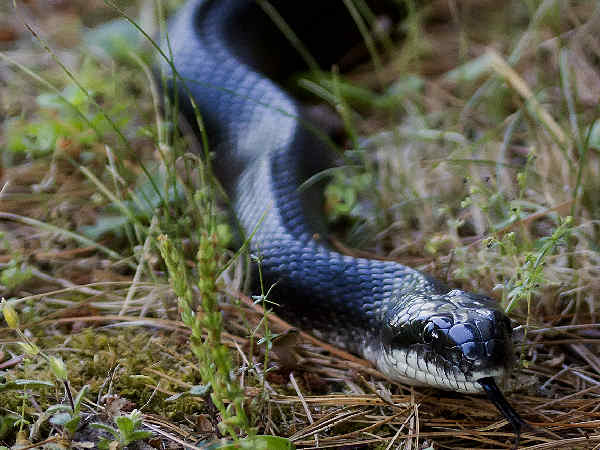 picture of a Black Rat Snake in Virginia, credit, Cygnus921 Flickr
