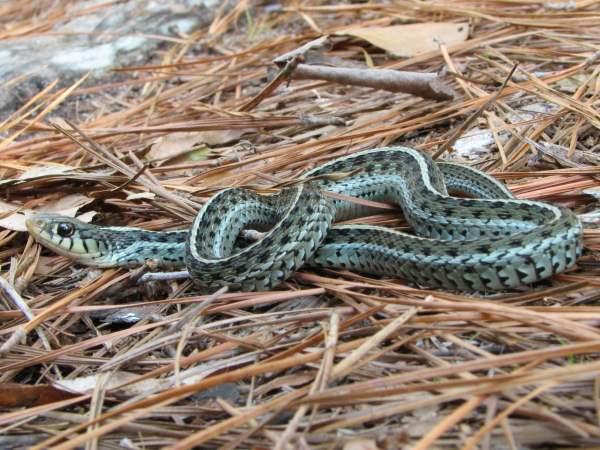 Blue Stripe Garter Snake