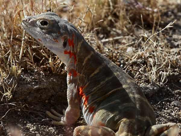 picture of a Blunt-nosed Leopard Lizard