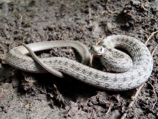 picture of a Dekay's Brownsnake (Storeria dekayi). Credit Melissa Mcmaster Flickr