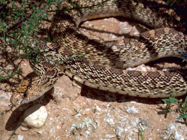 picture of a Gopher Snake or Bullsnake (Pituophis melanoleucus)
