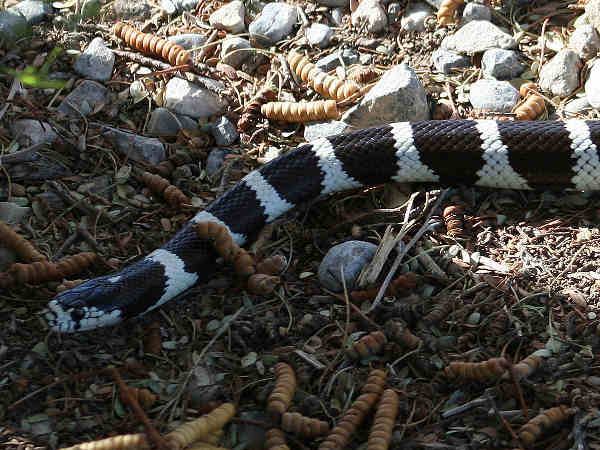 picture of a California King Snake