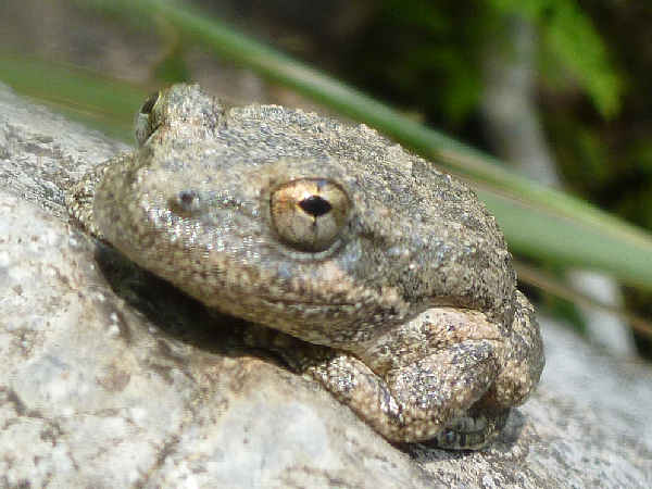picture of a California Treefrog