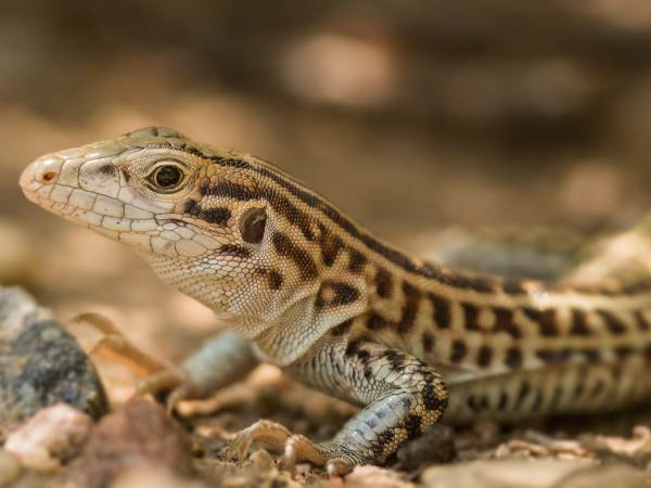 picture of a Checkered Whiptail lizard