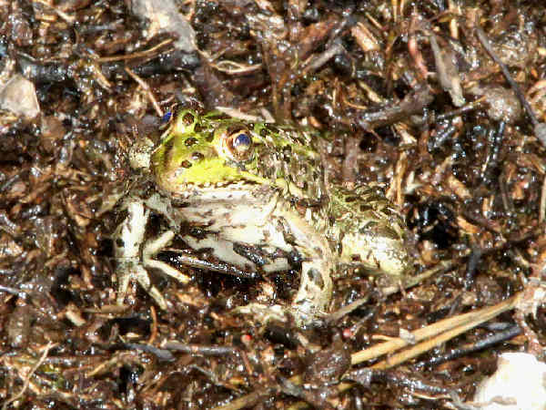 picture of a Chiricahua Leopard Frog, part of the frog identification series