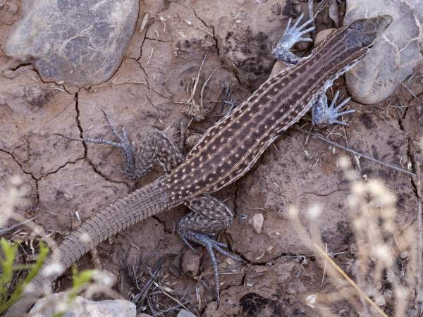 picture of a Cihuanhuan Spotted Whiptail lizard
