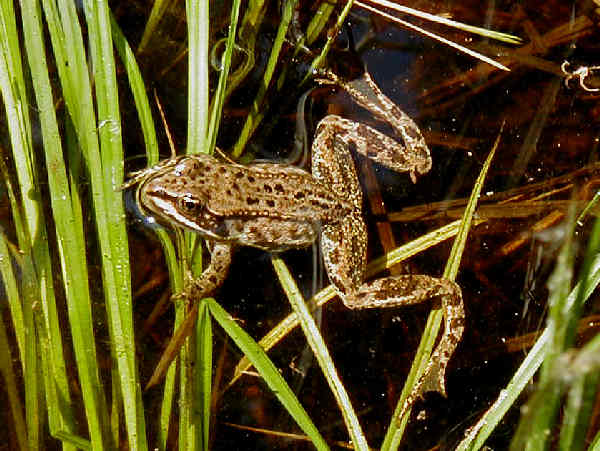 picture of a Columbia Spotted frog