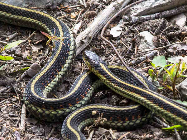 close-up of a common garter snake
