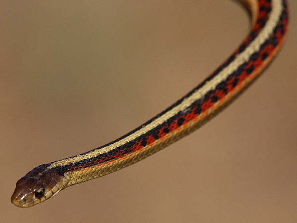 picture of a Common Garter Snake (Thamnophis sirtalis) credit, lostinflog, Flickr