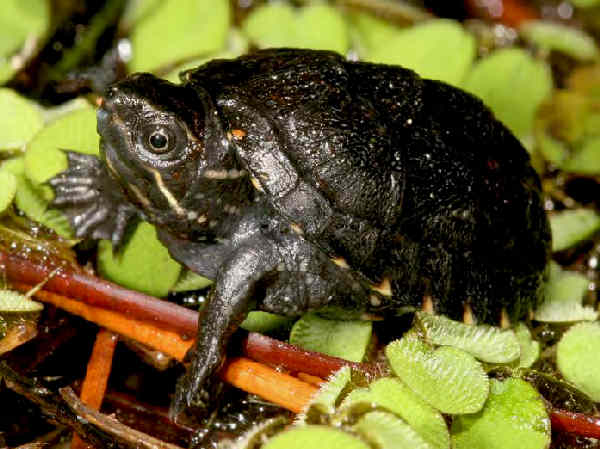 picture of a Common Musk Turtle