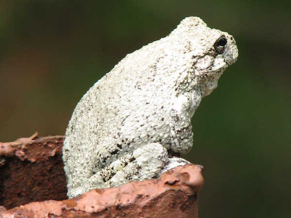picture of a Cope's Gray treefrog, matt tillett, Flickr