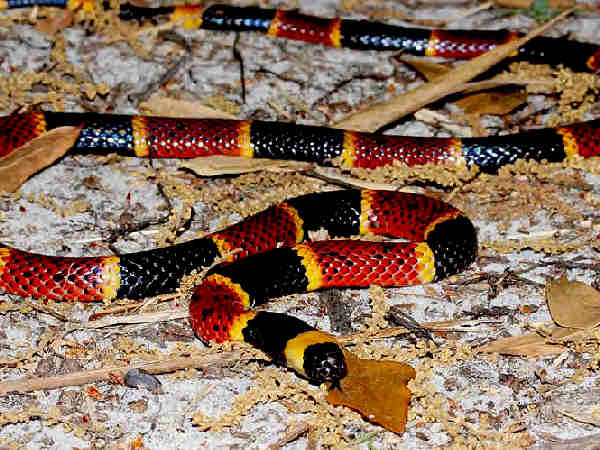picture of a Coral Snake, part of the Florida snakes section