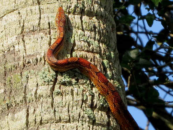 picture of a Corn Snake