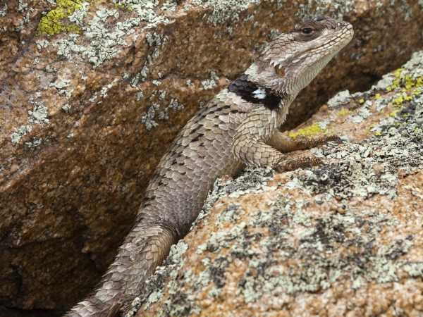 picture of a Crevice Spiny Lizard