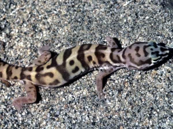 picture of a Desert Banded Gecko
