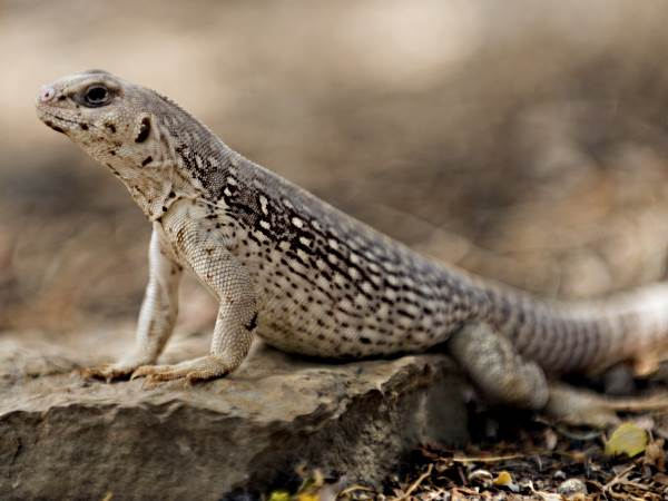 picture of a Desert Iguana