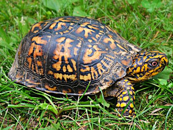 picture of an Eastern Box Turtle