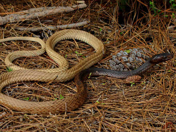 picture of an Eastern Coachwhip snake (Masticophis flagellum)