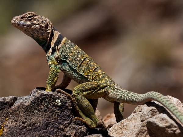 picture of an Eastern Collard Lizard