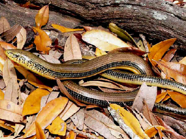 picture of an Eastern Glass Lizard, credit Pondhawk, Flickr