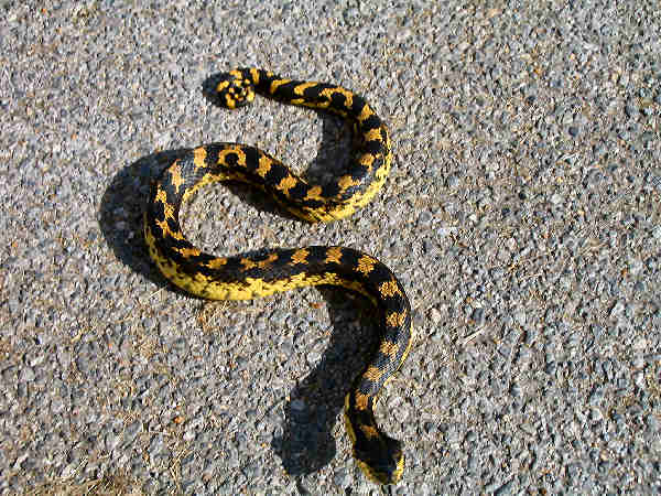 picture of an Eastern Hognose snake
