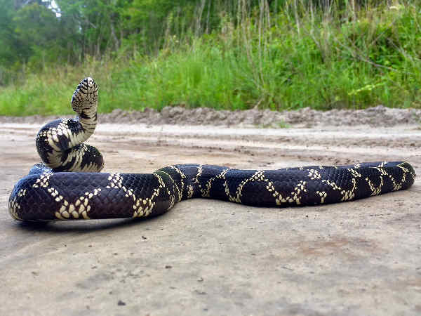 picture of an Eastern King snake
