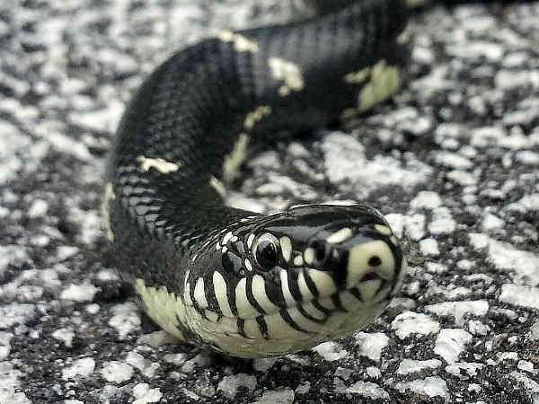 picture of an Eastern Kingsnake from Georgia, credit Kayaker, Flickr