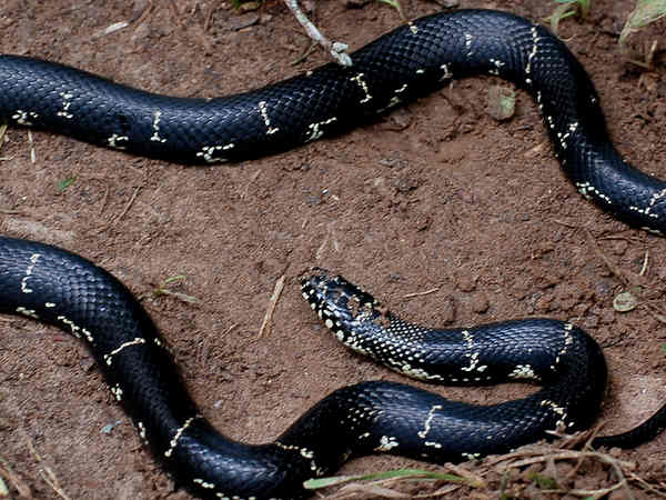 picture of an Eastern King snake from Georgia, credit Greg Gilbert, Flickr