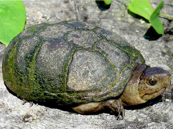 picture of an Eastern Mud Turtle