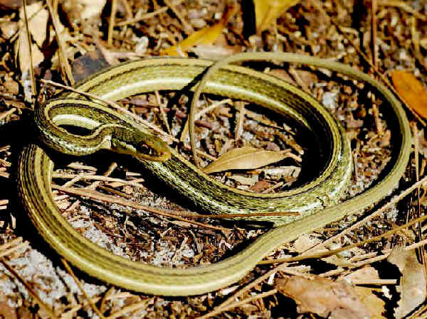 picture of an Eastern Ribbon snake