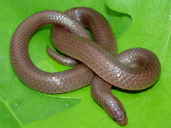 picture of an Eastern Worm Snake