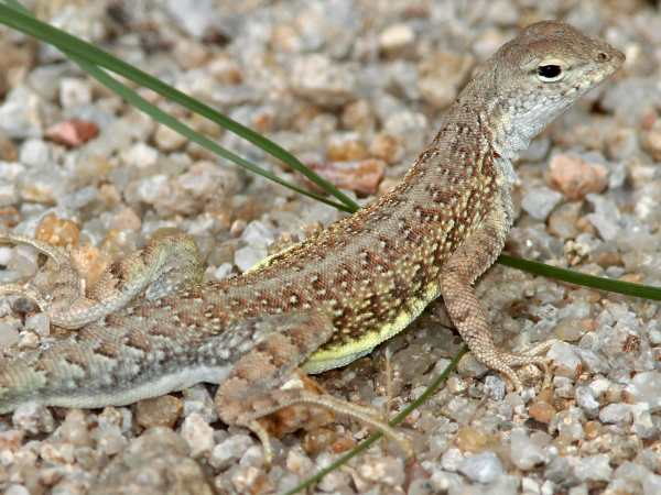 picture of an elegant Earless Lizard