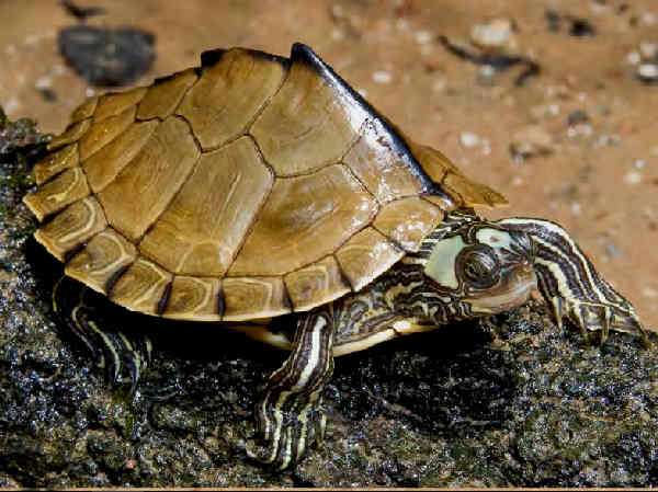 picture of an Escambia map turtle, part of the Florida turtles series
