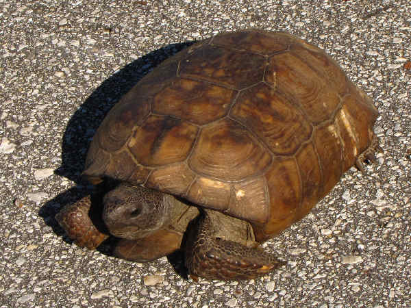 picture of a Gopher Tortoise