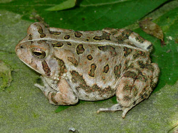 picture of a Fowler's toad, credit Flickr Pondhawk, toad identification
