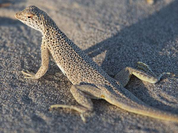 picture of a Fringe-toed Lizard