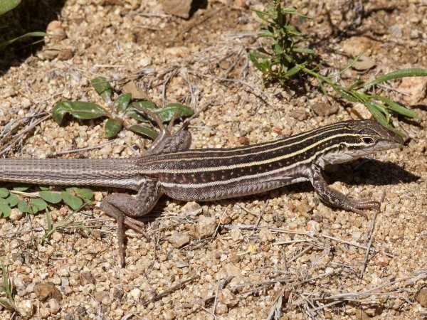 picture of a Gila Spotted Whiptail lizard
