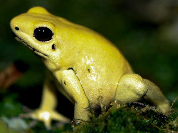 picture of a Golden Poison-dart Frog (Phyllobates terribilis), part of the tree frogs poisonous series