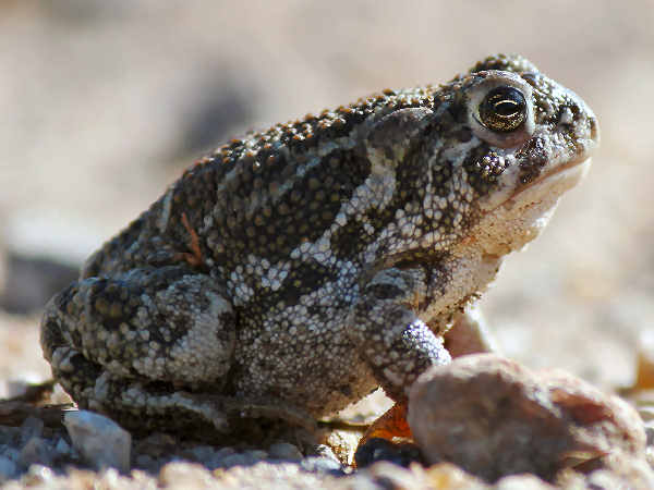 picture of a Great Plains Toad, part of the Iowa wildlife series
