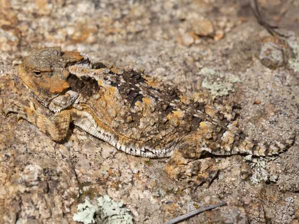 picture of a Greater Short-horned Lizard