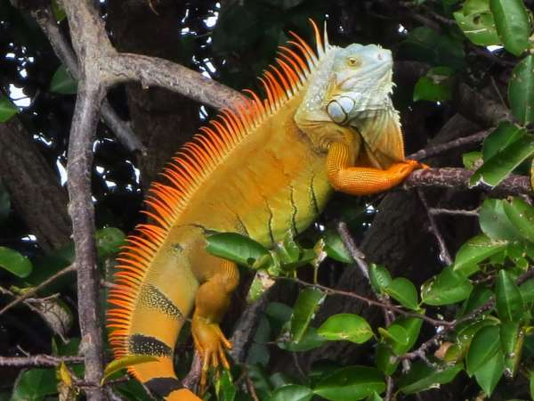 picture of a Green Iguana