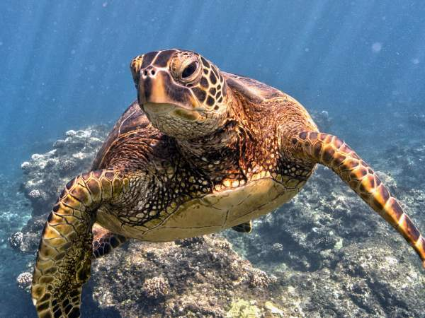 picture of a Green Sea Turtle swimming in the ocean