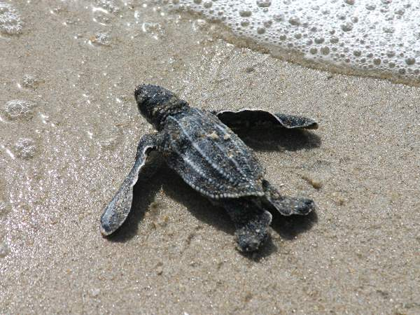 picture of a leatherback sea turtle hatchling on a Florida beach, credit: Florida Fish and wildlife, part of the Florida turtles section