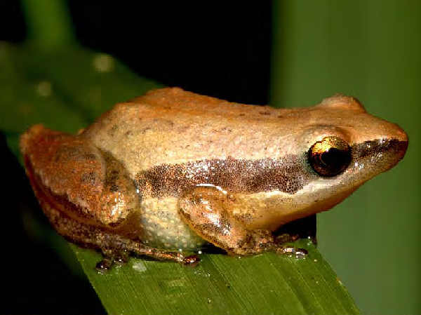 picture of a Little Grass Frog treefrog