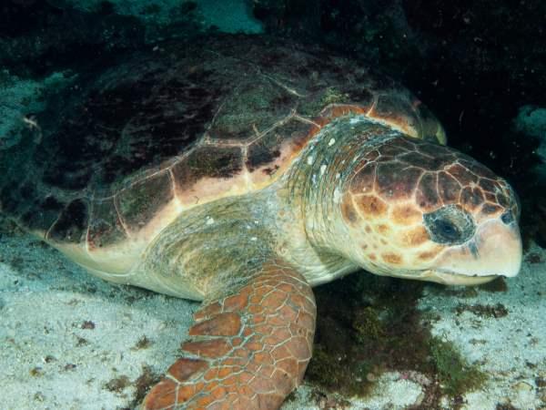 picture of a loggerhead sea turtle swimming in the ocean